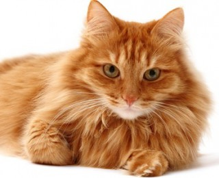 Fluffy ginger cat