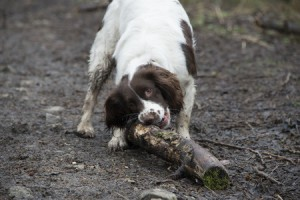 Muddy Springer Spaniel