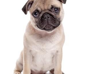A cute Pug puppy
