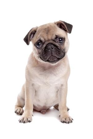 A Pug puppy