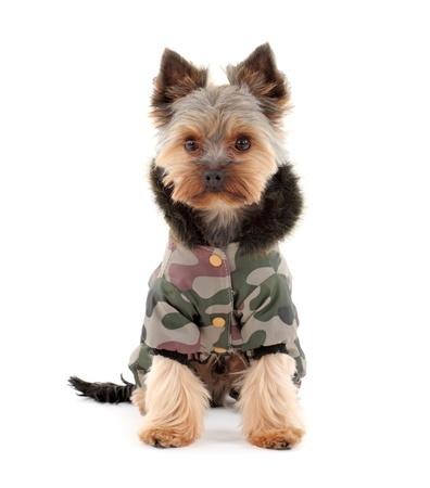 Yorkshire terrier coats uk