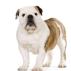 A Bulldog - ticks blog