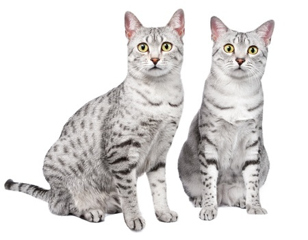 Two cute Egyptian Mau kittens