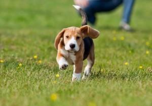 A Beagle puppy running on grass