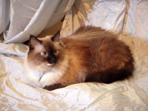 A Balinese cat sits quietly