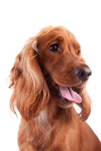 An Introduction to Buying a Dog- A Red Cocker Spaniel