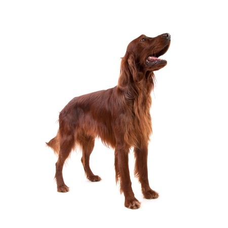 An Irish Setter is an inquisitive dog breed