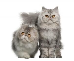 Two cute Persian kittens
