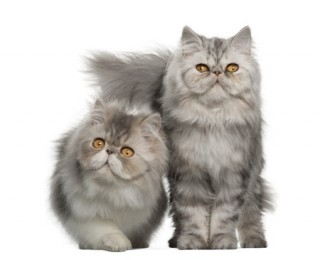 Two cute Persian kittens
