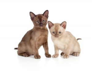 Two cute Burmese kittens
