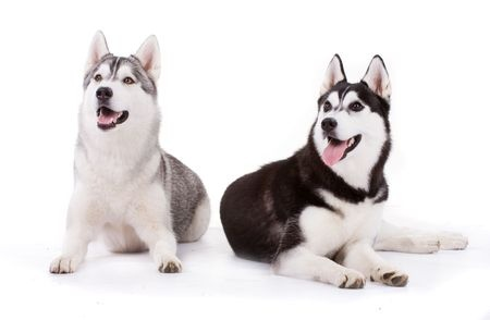 Breed Review Siberian Husky Dogs Argos Pet Insurance