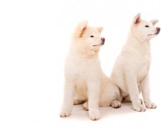 Two Akita dogs