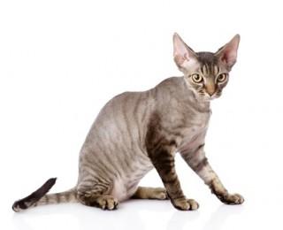 A Devon Rex cat