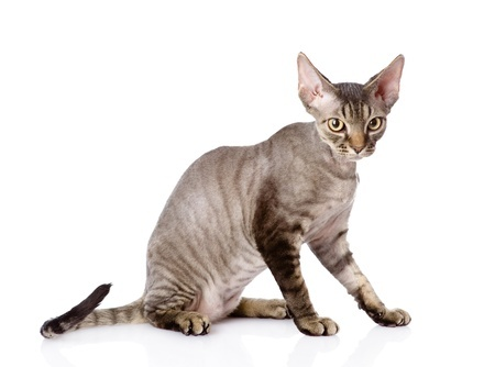 A Devon Rex cat