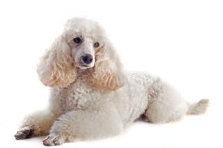 A white poodle
