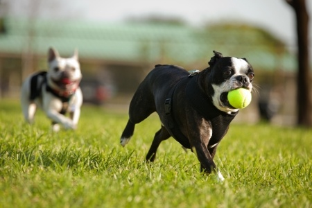 A French Bulldog fetches a ball when playing