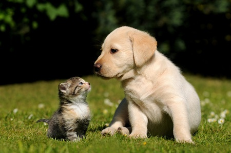 A cute kitten and a Labrador puppy