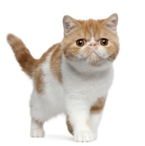 An Exotic Shorthair kitten