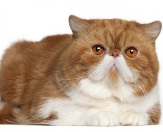 The Exotic Shorthair cat is proving popular with families