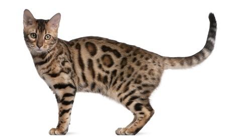 A Bengal Cat