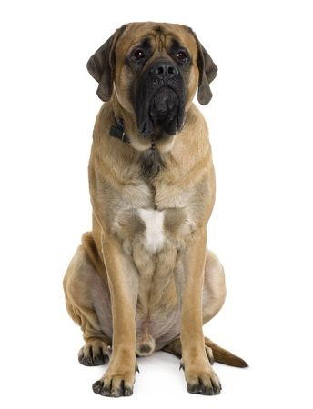 An English Mastiff sitting down