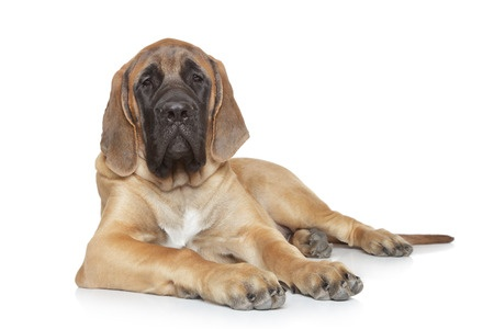 An English Mastiff lying down