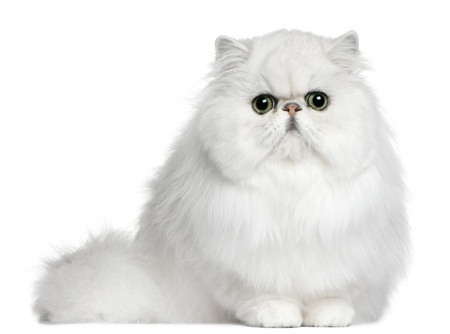 White Persian cat sitting down