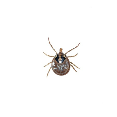 A tick which can bite your pet