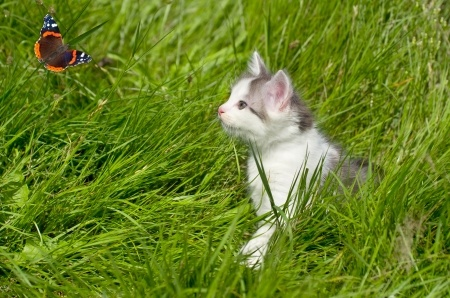 A kitten looks at a butterfly on a hot summer's day