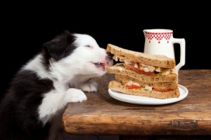 A five-week old border collie puppy steals a sandwich