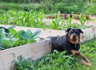 A Rottweiler casts a watchful eye over whilst sitting between raised garden beds full of plants.