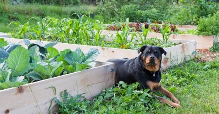 a rottweiler casts a watchful eye over whilst sitting between raised garden beds full of plants - Are Christmas Cactus Poisonous To Dogs