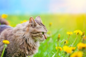 Can cats get hay fever? A kitten plays in a field full of pollen