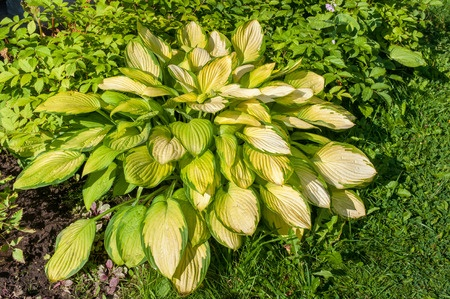 The popular Hosta is one of the plants that are poisonous to dogs and cats