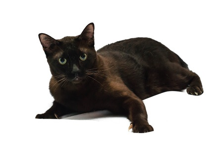 The Havana Brown Cat breed is known for its distinctive green eyes