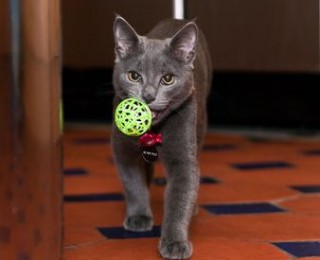 A young kitten brings a ball back to its owner