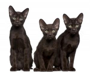 An adorable trio of Havana Brown Kittens