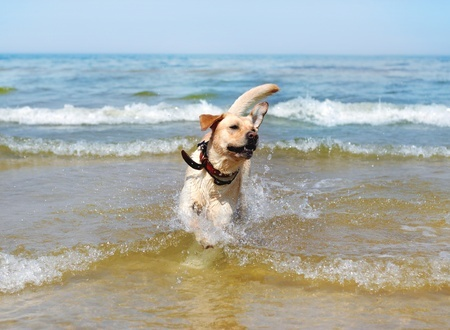 A Labrador enjoys swimming at the beach