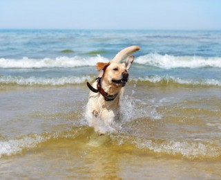 A Labrador enjoys a swim on a beach