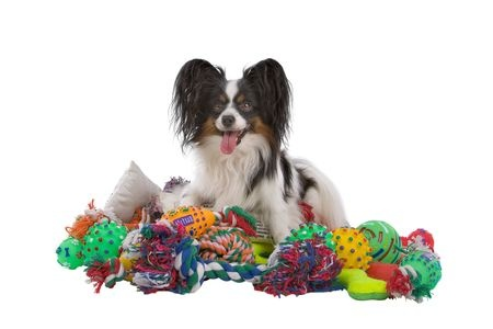 A papillon dog with a mountain of toys