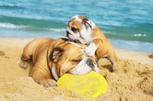 An English Bulldog enjoys a day at the beach with its puppy