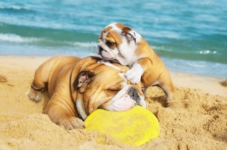 An English Bulldog and puppy play on the beach