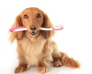 A gorgeous Dachshund dog with a toothbrush