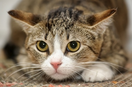 A Tabby cat, which is also known as a Domestic Shorthair