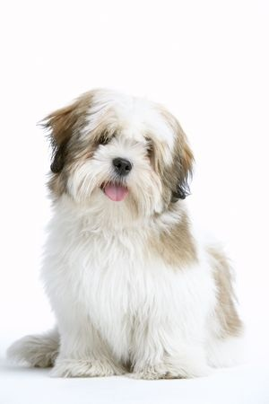 A lovely looking Lhasa Apso dog