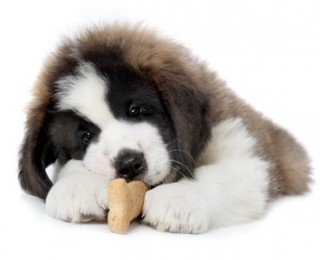 A very cute Saint Bernard puppy enjoys a dog treat