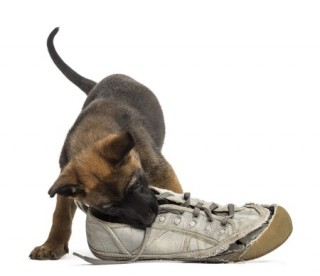 An adorable Belgian Shepherd puppy plays with a trainer