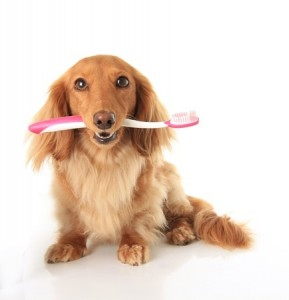 An adorable Dachshund with a toothbrush in its mouth