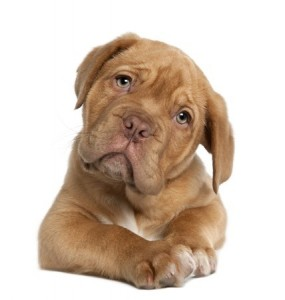 A cute Dogue de Bordeaux puppy does not look too happy