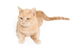 A Domestic Shorthair cat
